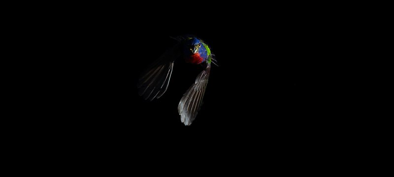 A painted bunting in flight.